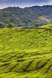 Tee-Plantage mit Weg-Cameron-Hochland, Malaysia Lizenzfreies Stockbild
