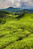 Tee-Plantage mit Weg-Cameron-Hochland, Malaysia Lizenzfreie Stockfotografie
