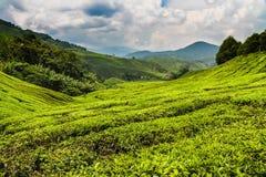 Tee-Plantage mit Weg-Cameron-Hochland, Malaysia Stockfotografie