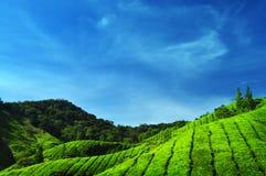 Tee-Plantagen Lizenzfreies Stockfoto