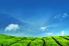 Tee-Plantagen stockfotos