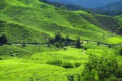 Tee-Plantagen Stockbilder
