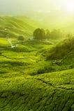 Tee-Plantagen stockbild
