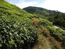 Tee plantantions Cameron Highlands Lizenzfreies Stockbild