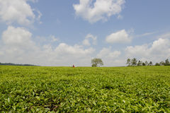 Tee plantation in Uganda Royalty Free Stock Image