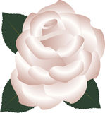 Tee Rose Lizenzfreie Stockbilder
