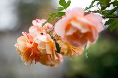 Tee Rose Stockfoto