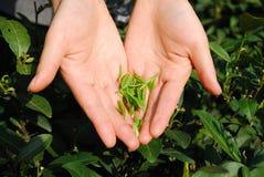 Tee-Sammeln Lizenzfreie Stockfotos