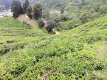 Tee-Zustands-@ Kamerun-Hochländer, Malaysia lizenzfreies stockfoto