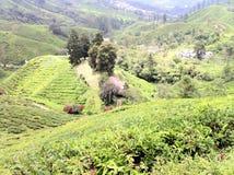 Tee-Zustands-@ Kamerun-Hochländer, Malaysia lizenzfreie stockfotos