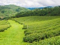 Teebauernhof mit Berieselungsanlage auf Doi Mae Salong Lizenzfreies Stockfoto