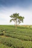 Teebauernhof mit blauem Himmel Stockfotos