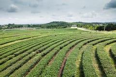 Teebauernhof mit blauem Himmel Stockfoto