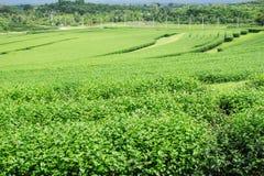 Teebauernhof mit Gebirgshintergrund Lizenzfreies Stockbild