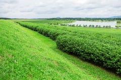 Teebauernhof mit Himmelhintergrund Stockbilder
