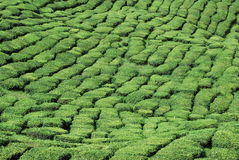 Teebaumfarm Lizenzfreie Stockbilder