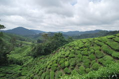 Teebaumfarm stockfoto