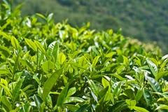 Teeblätter stockbilder