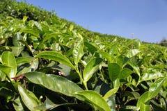 Teeblätter Stockfotos