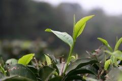 Teeblätter, die auf einem Teebauernhof sich öffnen stockfotos