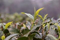 Teeblätter, die auf einem Teebauernhof sich öffnen Stockfotografie