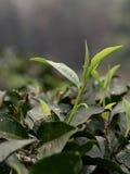 Teeblätter, die auf einem Teebauernhof sich öffnen Stockfoto