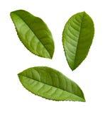 Teeblätter getrennt auf einem Weiß lizenzfreie stockbilder