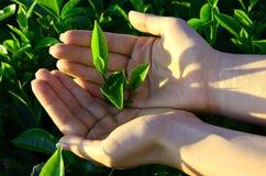 Teeblätter mit Plantage von Sri Lanka in den Händen lizenzfreie stockfotografie