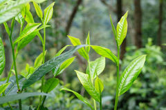 Teeblätter oder assamica Teeblätter, zwei Blätter und eine Knospe Lizenzfreies Stockbild