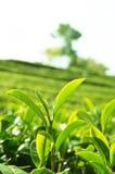 Teeblätter. Schließen Sie herauf Teeblätter mit Morgensonnenlicht Lizenzfreies Stockbild
