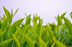 Teeblätter von der Plantage Stockbild