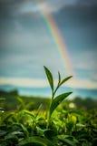 Teeblatt mit goldenem Sonnenlicht des Morgens Lizenzfreie Stockfotografie