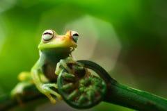 Tree frog Hypsiboas punctatus. A small treefrog from the Amazon rain forest. Macro of a tropical amphibian Stock Photos
