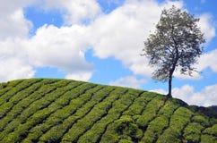 Teefeld Stockbilder