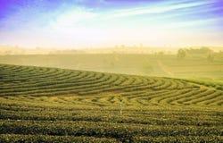 Teefeld bei Chiangrai Thailand Lizenzfreie Stockbilder