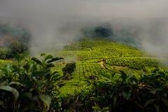 Teefelder Stockbild