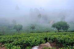 Teefelder Stockfoto