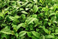 Teefelder in Alishan Taiwan Lizenzfreies Stockbild