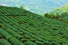 Teefelder in Alishan Taiwan Lizenzfreie Stockbilder