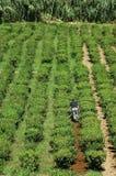 Teefelder in den Azoren Lizenzfreie Stockfotos