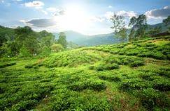 Teefelder in den Bergen Stockfotos