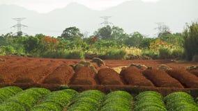 Teefeldplantage Lizenzfreie Stockbilder