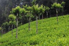 Teegärten und -bäume in Coorg, Madhikeri, Indien stockfoto