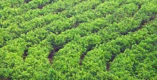 Teegarten Lizenzfreies Stockfoto