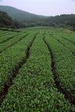 Teegarten Stockfoto
