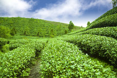 Teegarten mit Wolkenhintergrund Stockfotografie