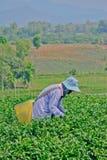 Teegarten in Nord-Thailand Lizenzfreie Stockbilder