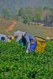Teegarten in Nord-Thailand Stockfotografie