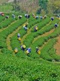 Teegarten in Nord-Thailand Lizenzfreies Stockfoto