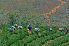 Teegarten in Nord-Thailand Lizenzfreies Stockbild